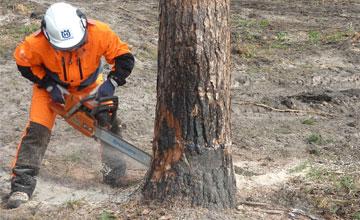 Могу ли я спилить дерево на собственном участке без разрешения