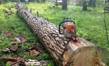 Незаконный спил деревьев в городе